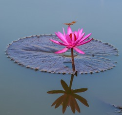 Dragonfly on Lotus blossom