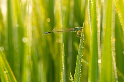 Dragonfly on rice plant leaves with dew drops,In summer evening a blue dragonfly sitting on grass