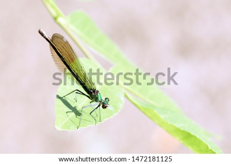 Dragonfly or damselfly insect is standing on green leaf, close-up photo. #1472181125