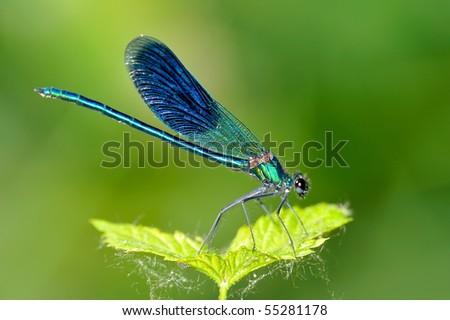 dragonfly outdoor (coleopteres splendens) #55281178