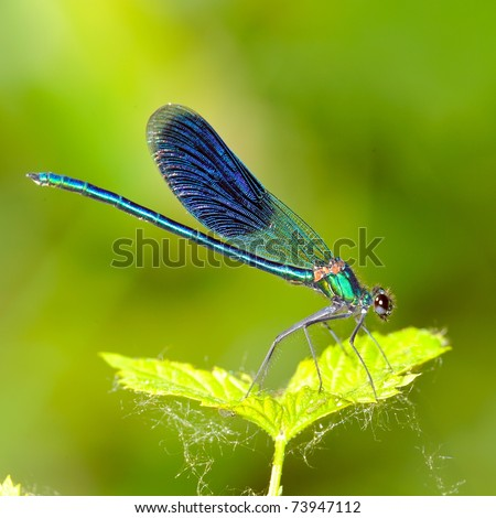 dragonfly outdoor (coleopteres splendens) #73947112