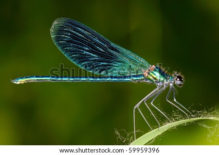 dragonfly outdoor (coleopteres splendes ) #59959396