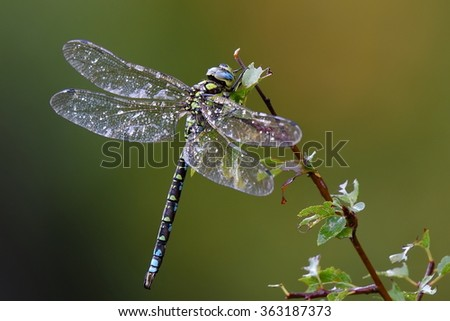 dragonfly outdoor on wet morning