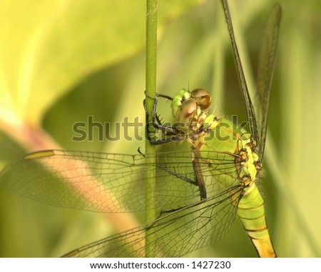 dragonfly perched on a stem.