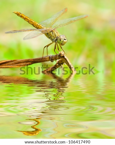 Dragonfly reflected in water.