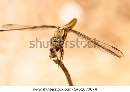 Dragonfly resting on a branch of the field, on a light background, orange. Dragonfly eating an insect seen from a macro. Nature and insects. #1451890874