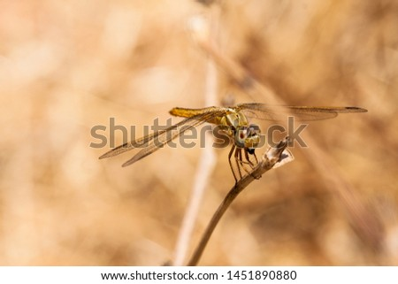 Dragonfly resting on a branch of the field, on a light background, orange. Dragonfly eating an insect seen from a macro. Nature and insects. #1451890880