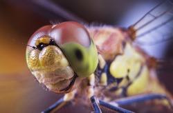 dragonfly's head, odonata, big eyes, macro world, color