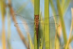 Dragonfly sitting in a grass leaf