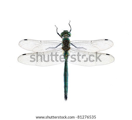 Dragonfly Somatochlora metallica (male) on a white background
