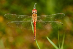 Dragonfly, (suborder Anisoptera), also called darner, devil's arrow, or devil's darning needle, any of a group of roughly 3,000 species of aerial predatory insects most commonly found near freshwater.