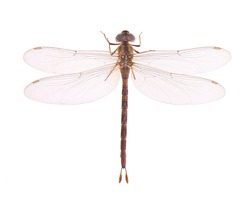 Dragonfly, Thai dragonfly, Chlorogomphus, Cordulegaster isolated on white background. Top view