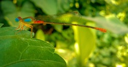 Dragonfly.Wildlife photography.Blue eyed dragonfly found in India in a tropical rain forest. Dragonfly insect has transparent wings.The dragonfly in a national park.Indian wildlife