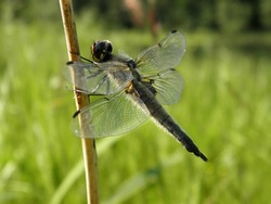 dragonfly with transparent wings sits on a blade of grass on a blurred green background of grass