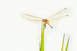 Dragonfly with wings showing against at white background. Macro picture of dragonfly. Dragonfly in the nature. Dragonfly in the nature habitat
