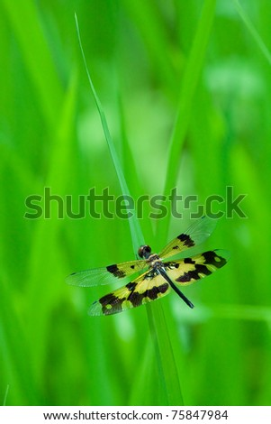 Dragonfly yellow black spot wing is staying on a rice leaf, Chonburi Thailand