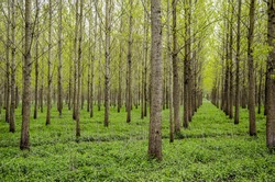 Drainage forest with trees aligned in rows.