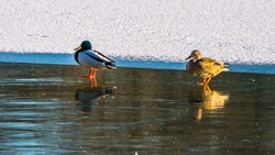 Drake with duck on ice in winter