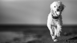 Dramatic black and white panoramic hero image of miniature poodle dog running and playing on the beach. Space for copy / text
