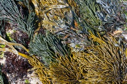 Dramatic community of yellow, green, red and brown seaweeds on a rock ion the Atlantic coast of Galicia, Spain.