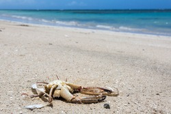 Dramatic image of dead sea crab on the white sandy Caribbean island beach and aqua blue water in the background in Dominican Republic.
