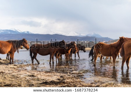 Dramatic landscape of wild horses running in the river with their reflection. Horses (Yilki Atlari) live in Hurmetci Village, between Cappadocia and Kayseri, Central Anatolian region of Turkey. Stok fotoğraf ©