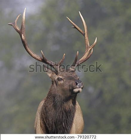 dramatic low angle close-up of a Roosevelt Elk bull in California's coastal rain forest
