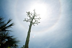 Dramatic low angle view of agave flower stalk in front of sun with halo, lens flare and palm trees. Also known as century plant and a member  of the asparagus family.