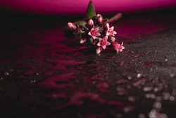 Dramatic Macro close up portrait of beautiful succulent plant pinkflowers, on wet ground selective focus