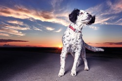 Dramatic portrait of cute spaniel dog with vivid and vibrant background. Colourful sky with pink, orange and purple tones with space for copy / text