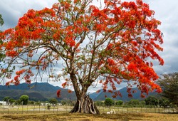 dramatic red tree blooming with flowers high in the caribbean mountains of the dominican republic.