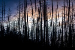 Dramatic scene of twilight sky with silhouetted dead trees.