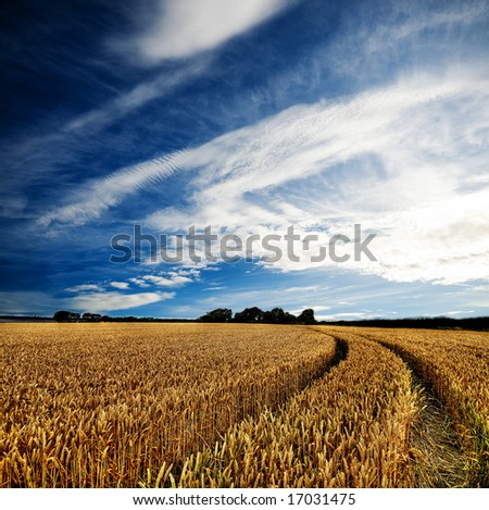 Dramatic sky over a golden wheat field