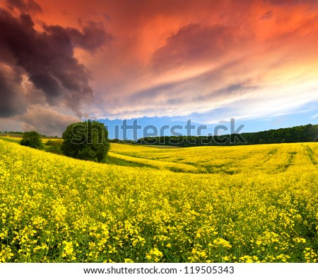 Dramatic Summer Landscape with a field of yellow flowers. Sunset - stock photo