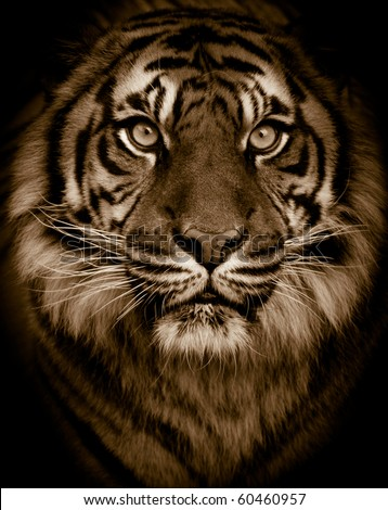 Dramatic tiger portrait