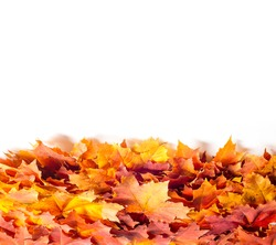Drawing background, texture. Leaves of autumn maple. background of fallen autumn leaves