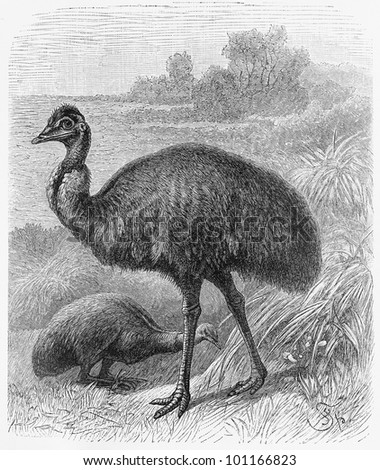 Drawing Of Emu Bird (Dromaius Novaehollandiae) From The End Of 19th Century - Picture From ...