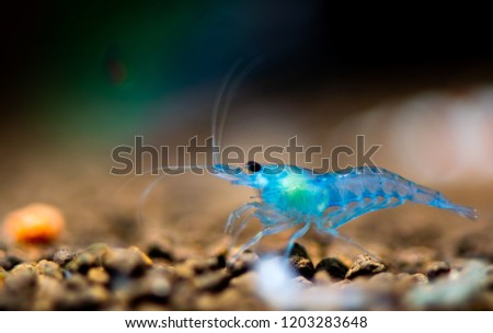 Dream blue dwarf shrimp in fresh water  aquarium tank with foreground of shrimp mold #1203283648