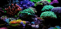 Dream Coral reef saltwater aquarium tank scene