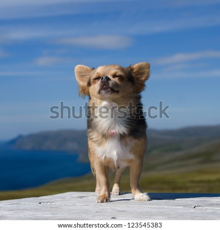 Dreaming chihuahua breathing fresh air against Northern Norway landscape