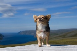 Dreaming chihuahua breathing fresh air against Scandinavian landscape