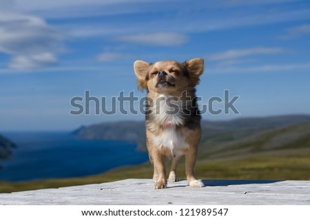 Dreaming chihuahua breathing fresh air against Scandinavian landscape