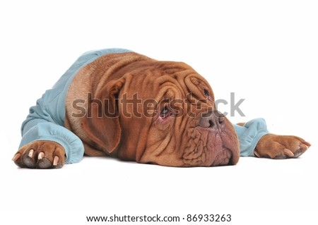 Dreaming dog lying looking up isolated on white background - stock photo