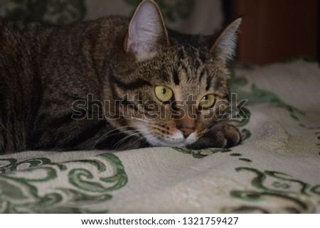dreaming striped tiger cat #1321759427