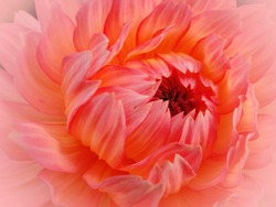 Dreamy abstract photo of Dahlia, Dahlia pinnata in summer. They are a garden favorite throughout the world. Cut flowers are long-lasting in fresh bouquets.