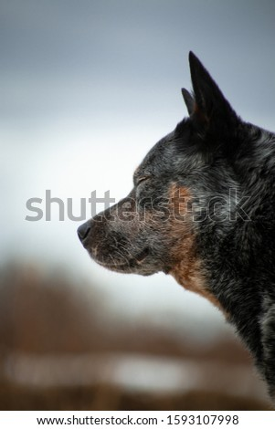 Dreamy and romantic portrait of a gray with reddish white speckled large dog of the Australian Healer breed on a beige and blue natural background