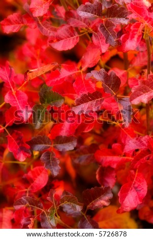 Dreamy Effect on a patch of bright red poison oak (0567)