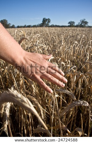 Dreamy hand on wheat