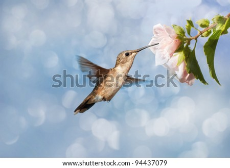 Dreamy image of a Hummingbird feeding on a pale pink Hibiscus flower
