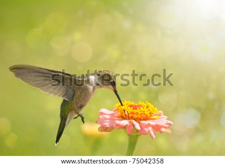 stock-photo-dreamy-image-of-a-hummingbird-feeding-on-zinnia-flower-75042358.jpg